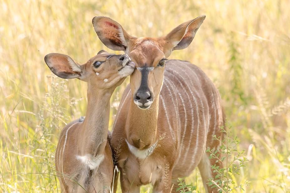 Nyala (Tragelaphus angasii) kid and mother. Entabeni, South Africa.