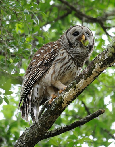 Barred Owlwith Lunch