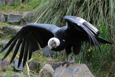 Male Andean Condor With Spread Wings