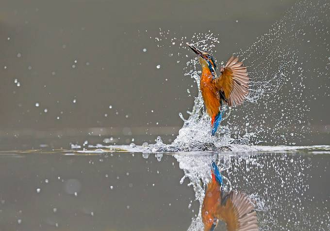 Kingfisher Dive by ronmccombe - Image of the Year Photo Contest by Snapfish