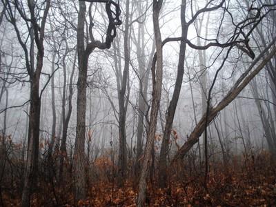 Fog through the trees.
