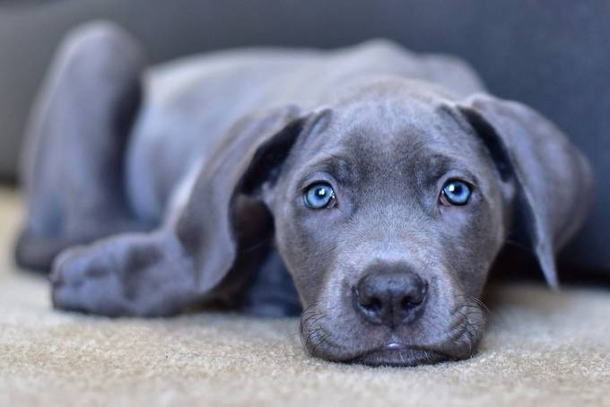 Luna - Blue Great Dane by chantelleogorman - Kittens vs Puppies Photo Contest