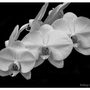 Orchids in bloom at Longwood Gardens; thought black and white really highlighted the delicate details in the flowers.