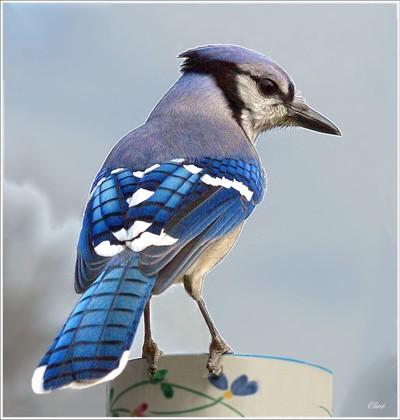 A Blue Jay