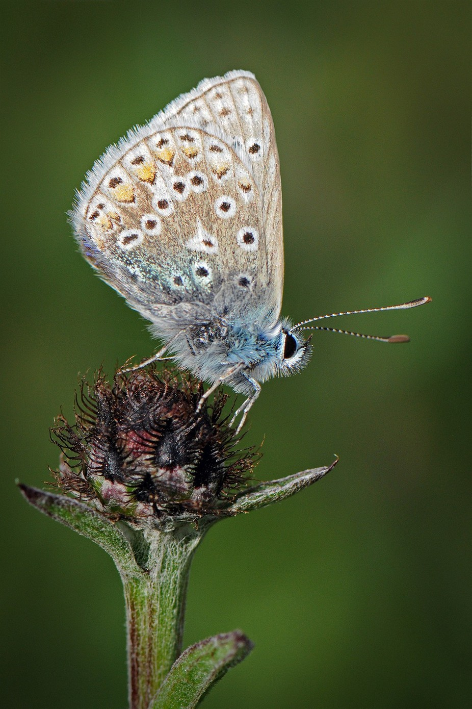 Small Blue Butterfly by NickBPhotoUK - Beautiful Butterflies Photo Contest