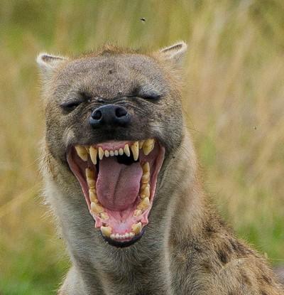 Yawning Hyaena