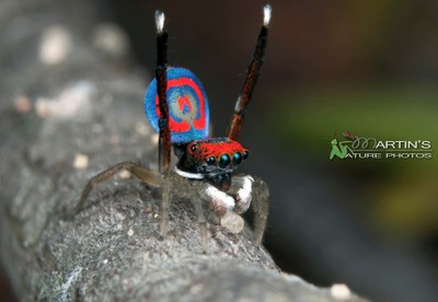 Peacock Spider - Maratus splendens - Display