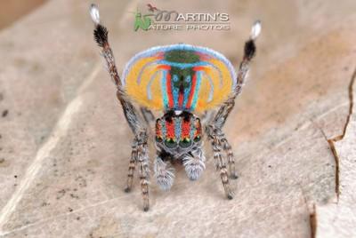 Peacock Spider  - Maratus volans - Display