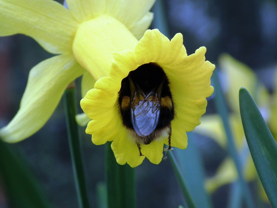 a buff tailed bumble bee feeding on the pollen of a daffodil spring 2015 in a green house at the ...