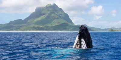 Humpback whale in front of Bora Bora