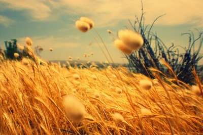 Golden Coloured Reeds