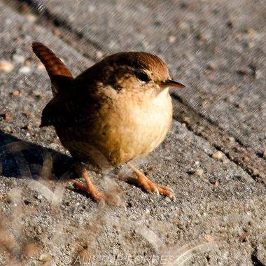 Smallest British Wild Bird