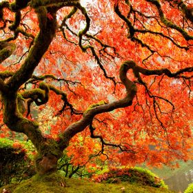 Japanese Maple at the Japanese Garden, Portland, OR