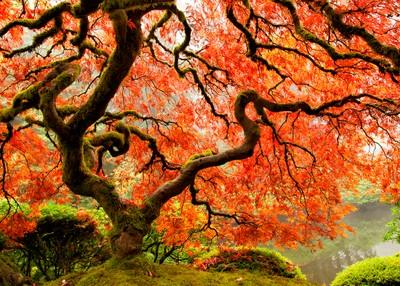 Japanse esdoorn in de Japanse Tuin, Portland, OR door Theo-Herbots-Fotograaf