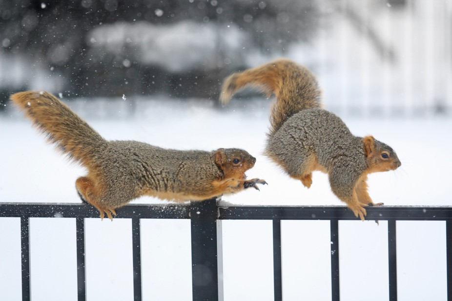 Two squirrels in my back yard chasing each other across my fence in winter.