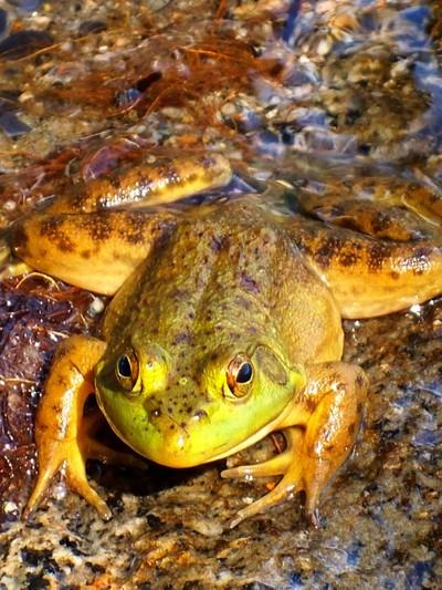 Frog I