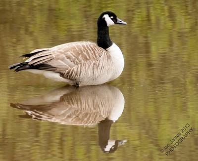 Canadian Goose Fast Asleep.