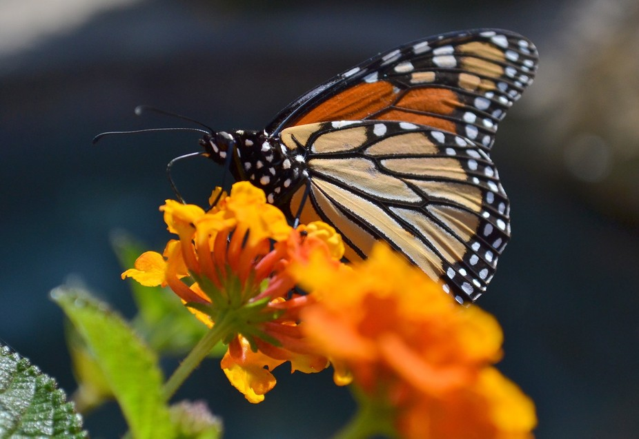 "A Monarchy is ruled by one.  Nothing screams ""One is Good"" like the Monarch Butterfly. ..."