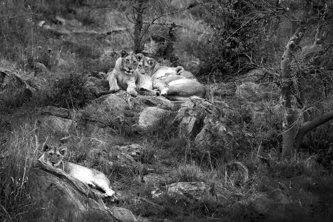 5 Lions by joeKilanowski