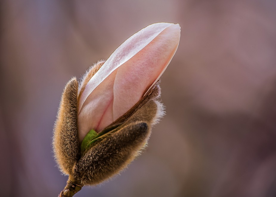 A lovely magnolia bud