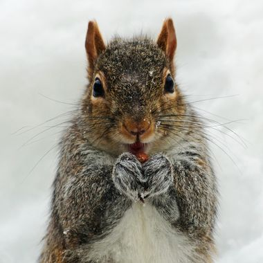 A grey squirrel eating a peanut in the snow.