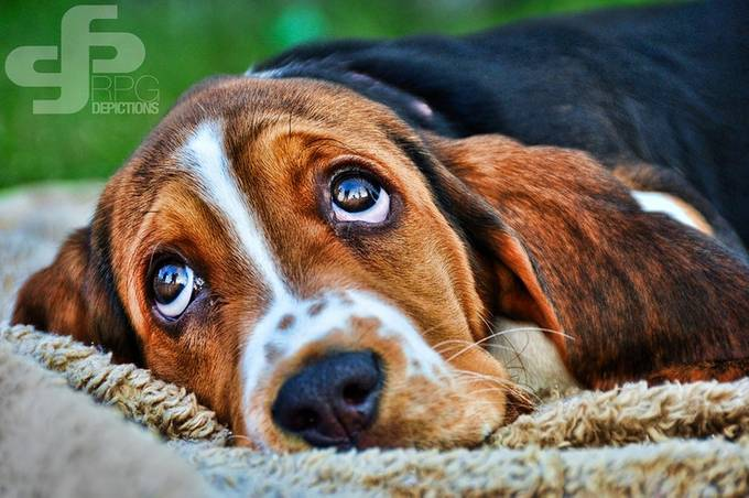 Basset Hound pup by rpgdepictions - Pets With Character Photo Contest
