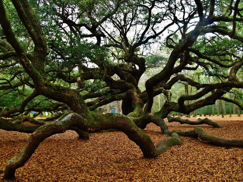 A massive tree called Angel Oak Tree located in Charleston, Sc