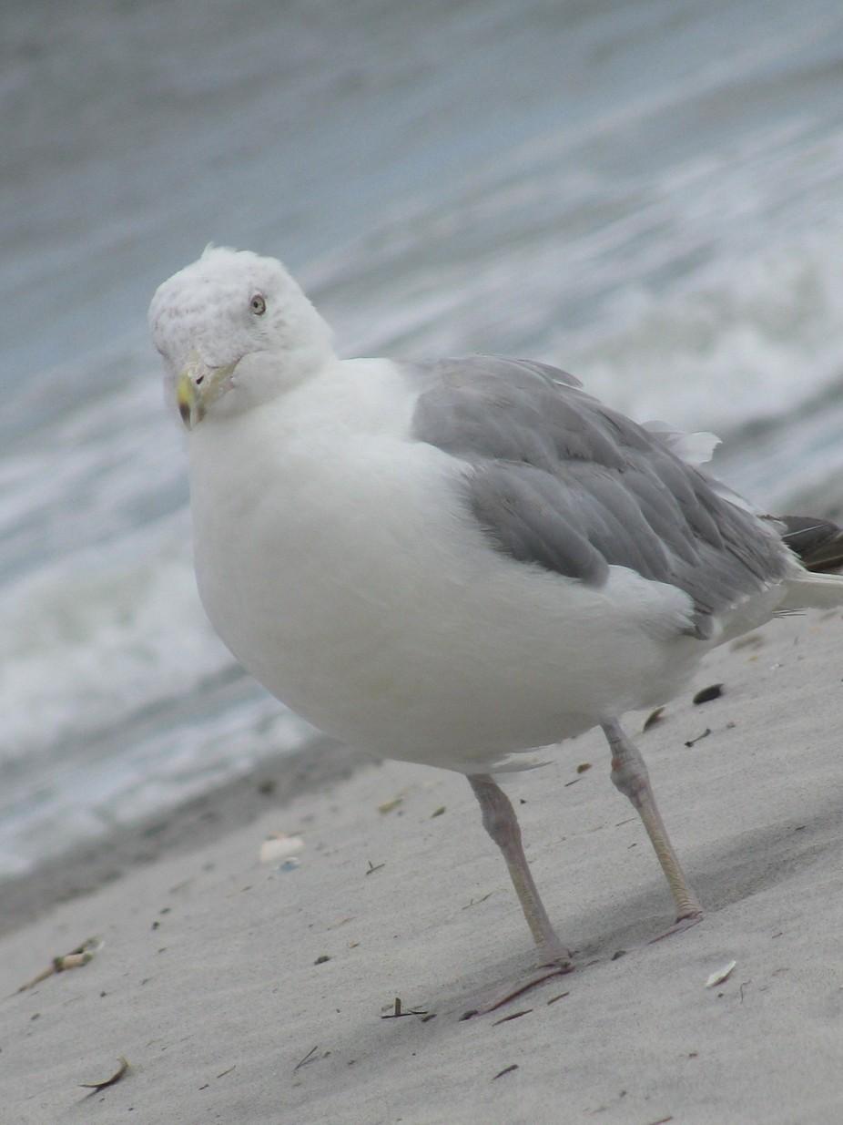 IMG_3233 Seagull