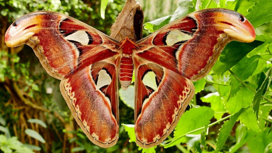this is Attacus attlas, the second largest moth/butterfly on earth;  endemic to tropical Asia.