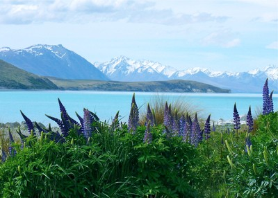 Lupines by Lake Takepo, New Zealand