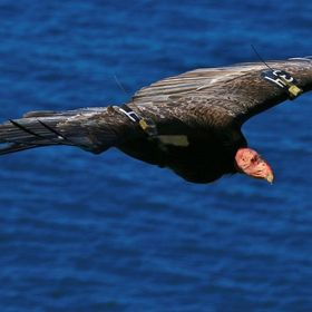 60 of these endangered birds live on the central California coast near Big Sur. Condor 34 was released in Pinnacles National Monument but is now ...