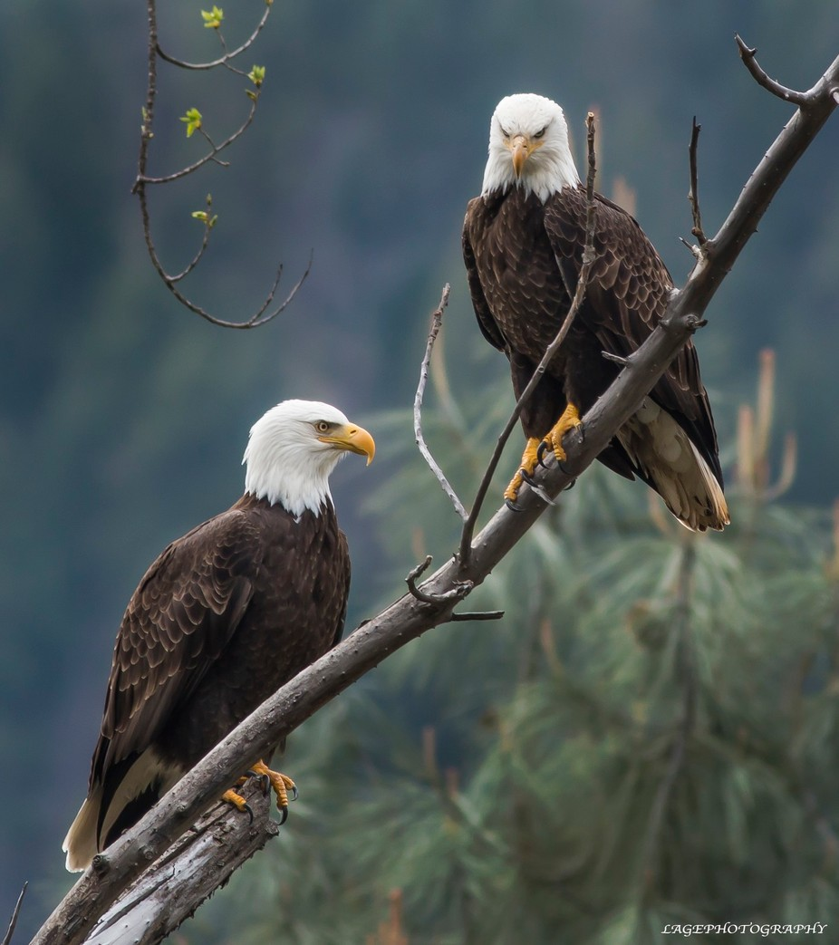 2 Eagles by LAGE - Monthly Pro Vol 17 Photo Contest