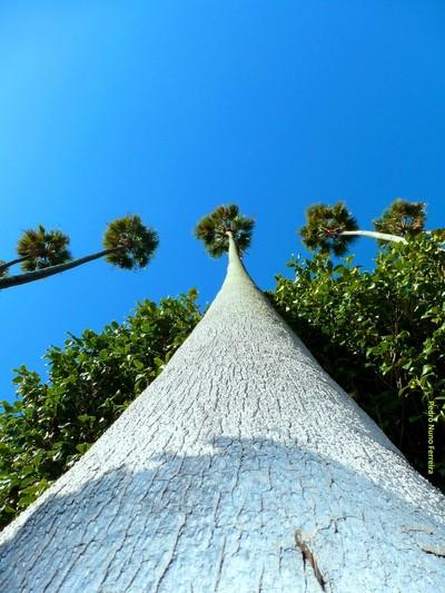 Washingtonia californica