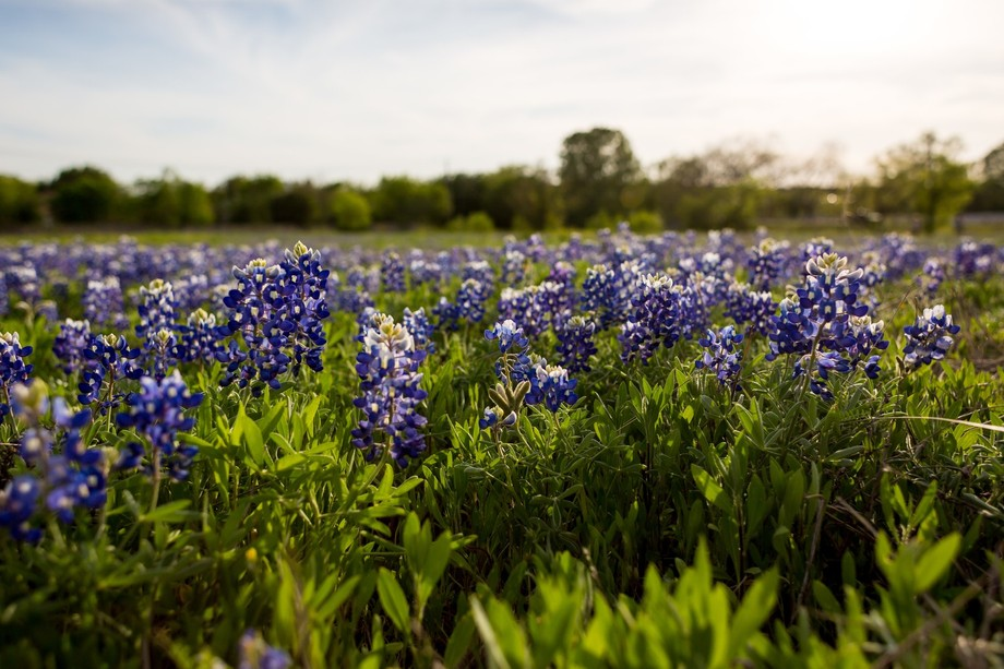 Bluebonnets in North Austin, until I took these pictures, I did not realize I had a slight allerg...