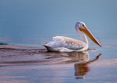 American White Pelican (Pelecanus erythrorhynchos) at Sunrise