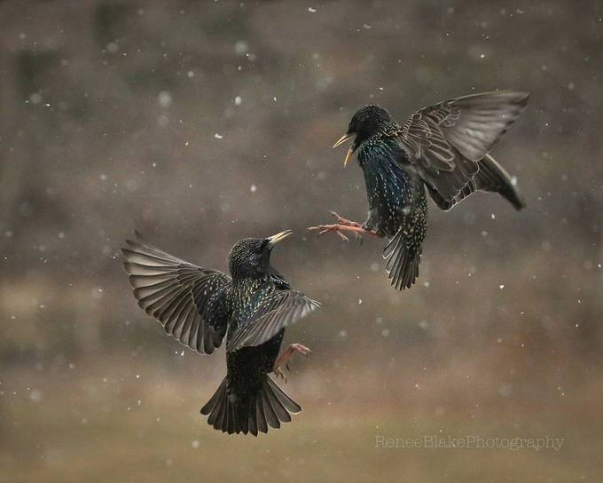 In Flight Fight ~ by ReneeBlake - Best Shot Photo Contest