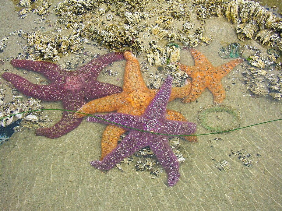 We were in Yachats, OR on a photo trip and in the tide pools were these starfish. Reminded me of ...
