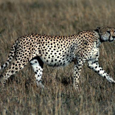 A.M. Cheetah