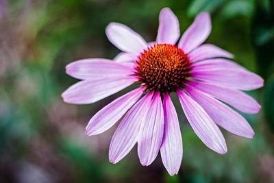 Echinacea flower AKA Purple Coneflower