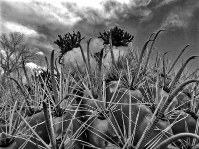 Cacti B&W