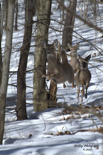 "Whitetail Deer ""Taking Off"""