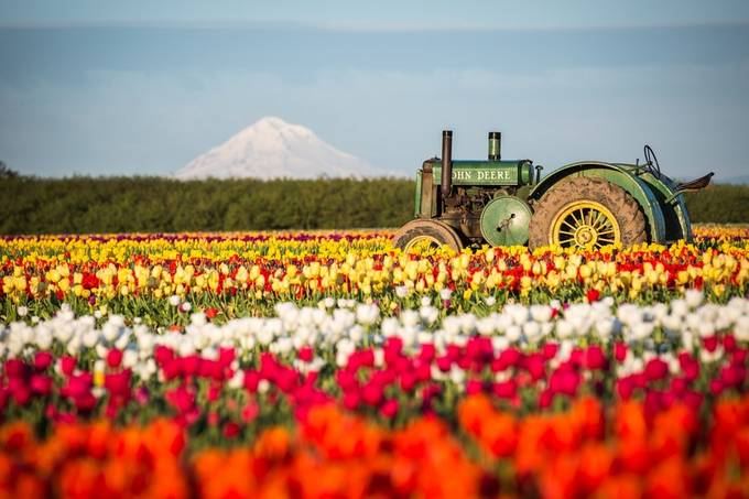 Wooden Shoe Tulip Farm by scottwilson - Farming Photo Contest