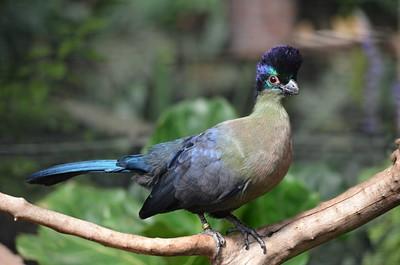 Purple Turaco