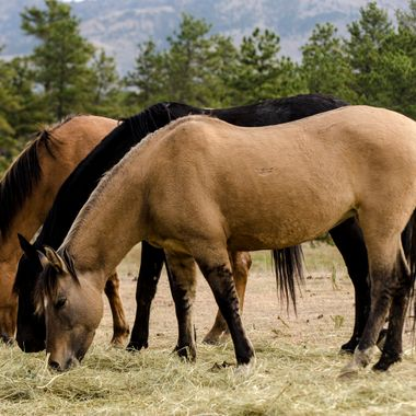 True Mustangs rescued from the Bureau of Land Management running free on hundreds of acres.