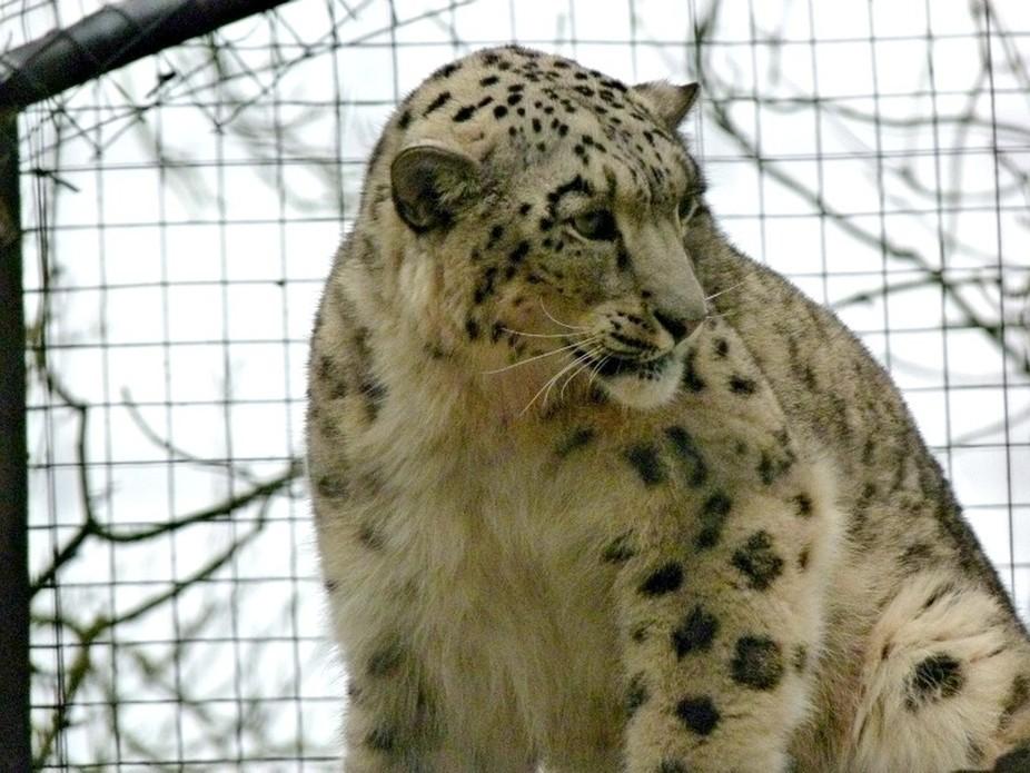 snow leopard #1