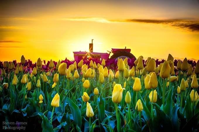 Pink John Deer by stevennichols - Yellow Beauty Photo Contest