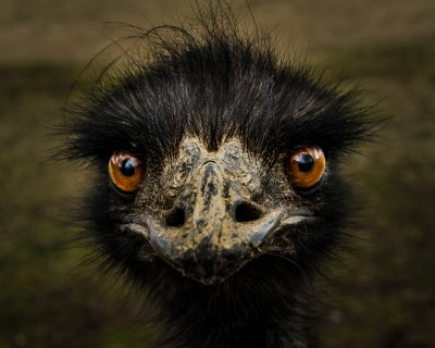 I Only Have Eyes for Emu...