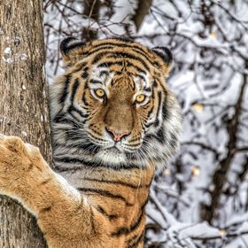 siberian tiger at the tree