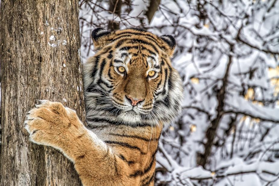 siberian tiger at the tree