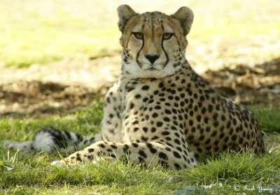 A Cheetah sitting in dappled shade at the Werribee Open Range Zoo
